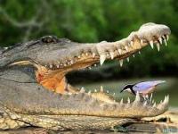 Oiseau dans la bouche d'un crocodile