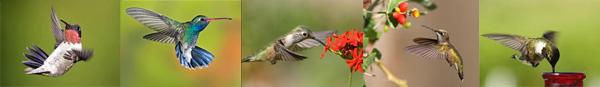 Photos de colibris