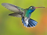 Colibri coloré en vol