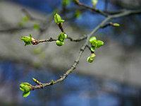 Bourgeons sur un arbre