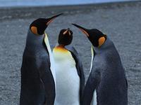 2 pingouins se jaugent, face à face, un 3e semble arbitrer