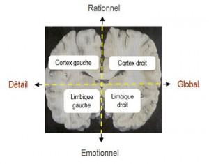 Cerveau schématique : 4 parties