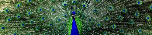 Paon - ozgurmulazimoglu sur Flickr