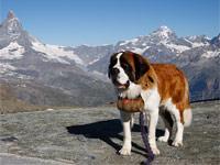 Chien Saint-Bernard sur fond de montagnes