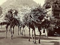 La paille qui brise le dos du chameau - (cc) SarahTZ Flickr